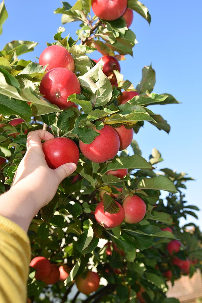 Endelig er eplene modne på den norske eple dagen som er siste tirsdag i september https://heidisboble.no/