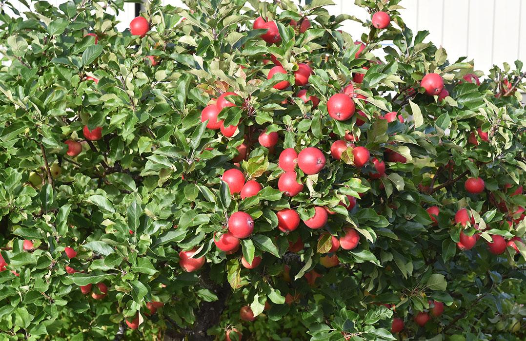 Eplene på epletreet mitt er endelig modne og jeg gleder meg til alt jeg kan lage!