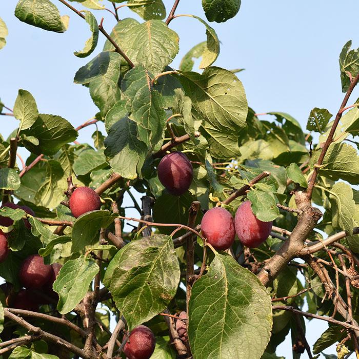 Plommehøst
